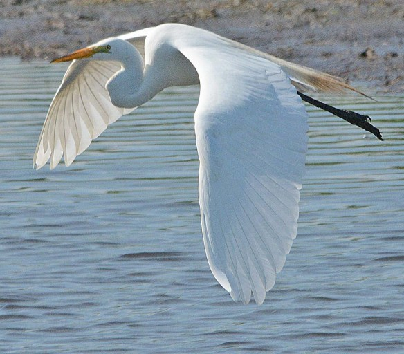 Great Egret 2018-34