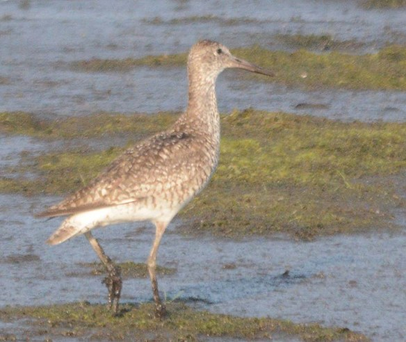 Greater Yellowlegs 2018-4