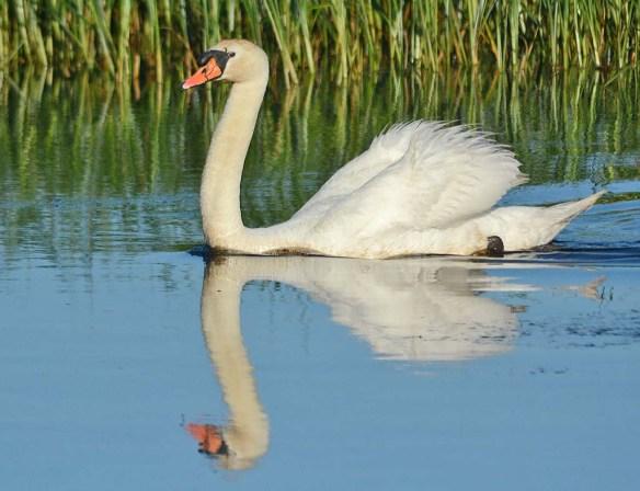 Mute Swan 2018-6