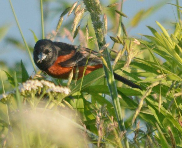 Orchard Oriole 2018-8