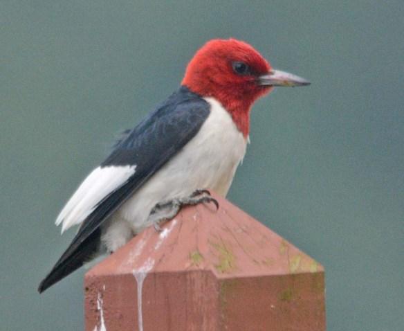 Red Headed Woodpecker 2018-31