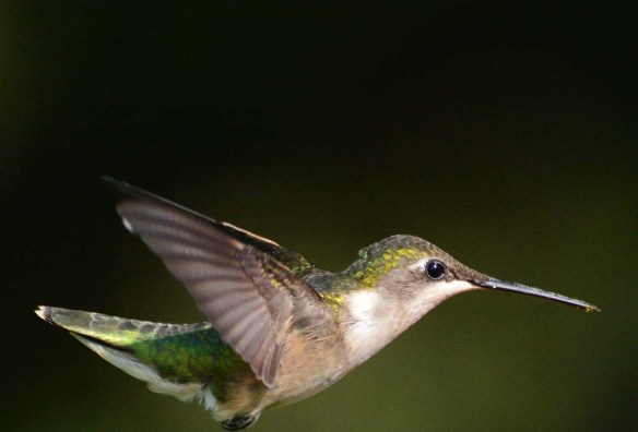 Ruby Throated Hummingbird 2018-7