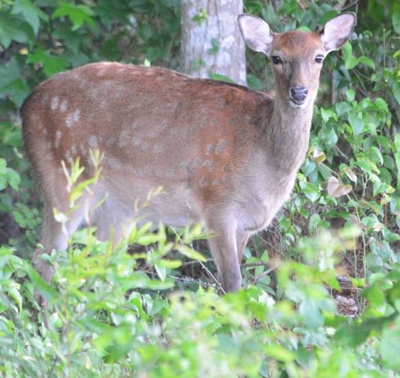 Sika Deer 2018-2
