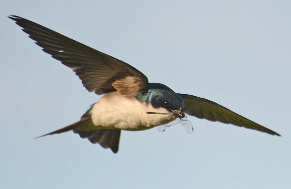 Tree Swallow 2018-25
