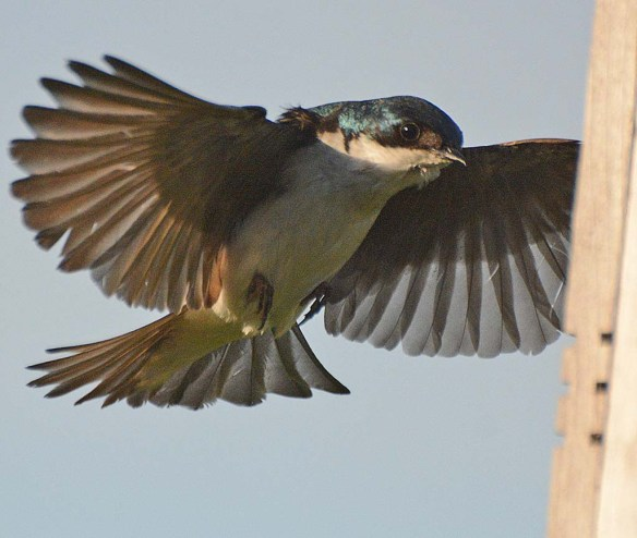 Tree Swallow 2018-27