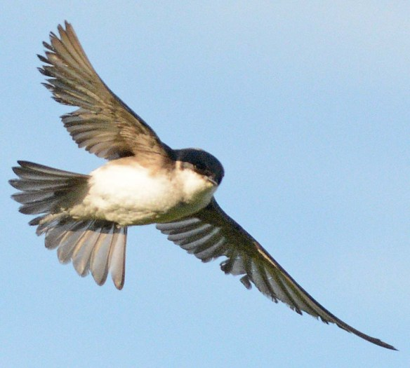 Tree Swallow 2018-33