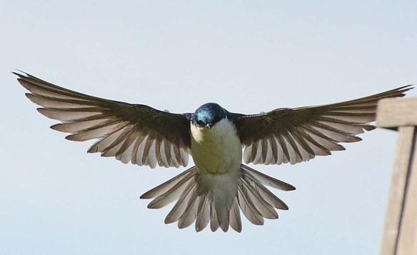 Tree Swallow 2018-37