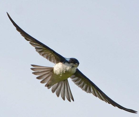 Tree Swallow 2018-38