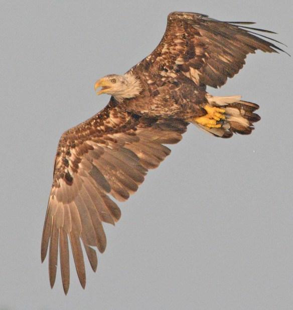 Bald Eagle 2018-52