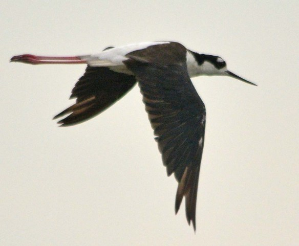 Black Necked Stilt 2018-20