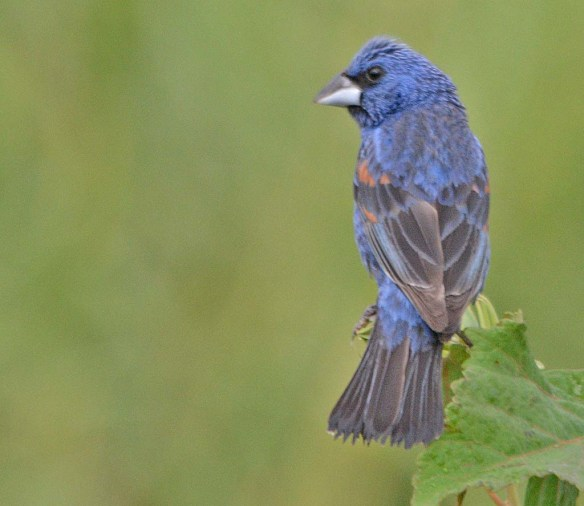 Blue Grosbeak 2018-4