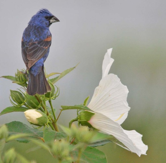 Blue Grosbeak 2018-8