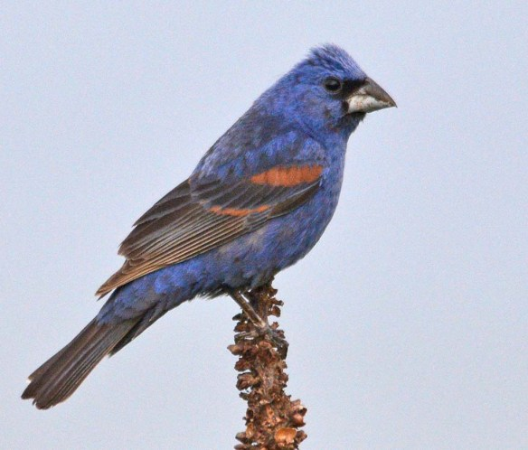 Blue Grosbeak 2018-9