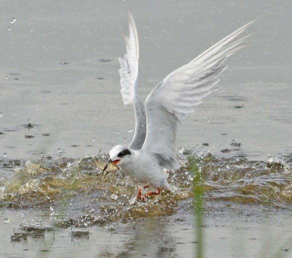 Forster's Tern 2018-81