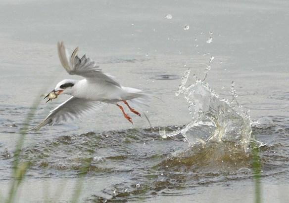 Forster's Tern 2018-82