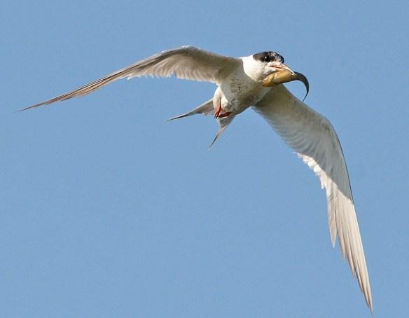 Forster's Tern 2018-90