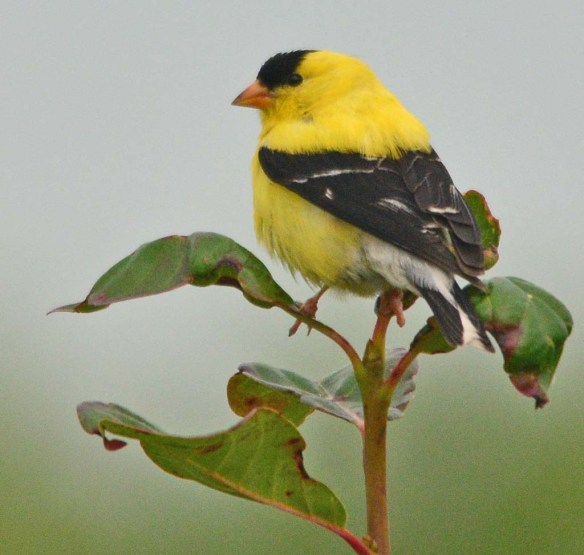 Goldfinch 2018-15