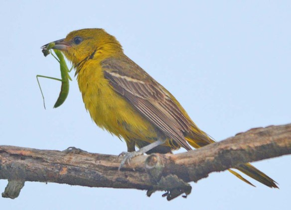 Orchard Oriole 2018-17