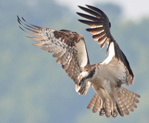 Osprey 2018-44