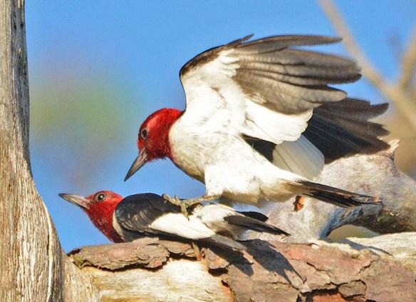 Red Headed Woodpecker 2018-37
