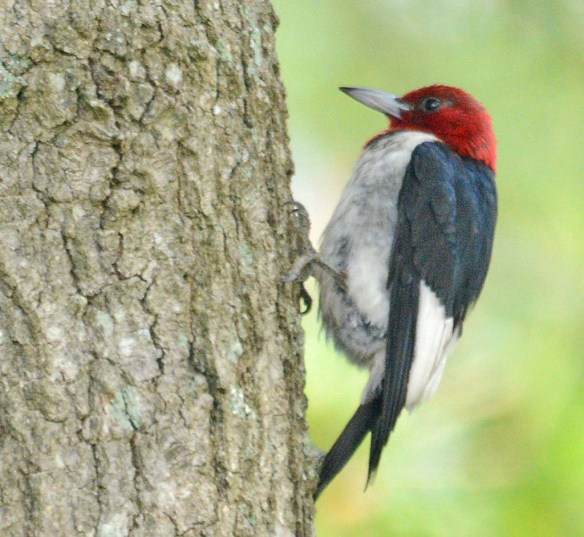 Red Headed Woodpecker 2018-44
