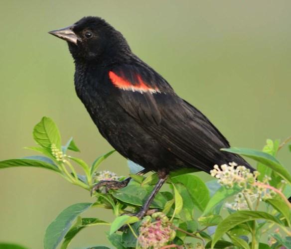 Red Winged Blackbird 2018-36