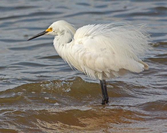 Snowy Egret 2018-13