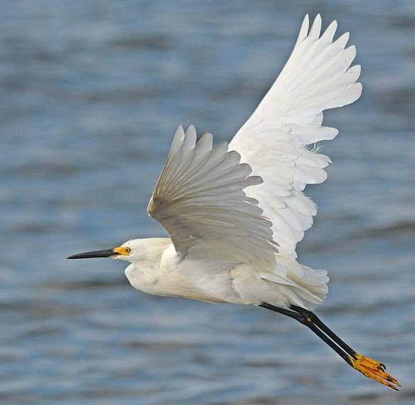 Snowy Egret 2018-14