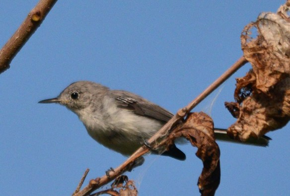 Blue Gray Gnatcatcher 2018-6