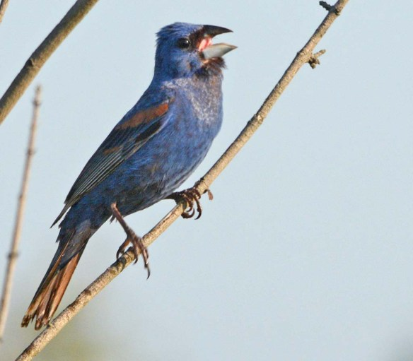 Blue Grosbeak 2018-12