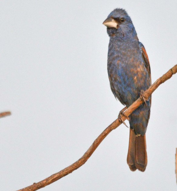 Blue Grosbeak 2018-13