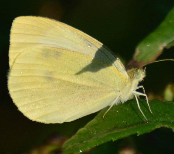 Butterfly 73