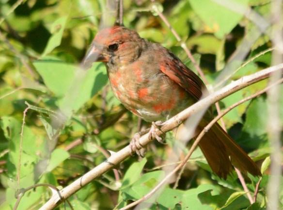 Cardinal 2018-14