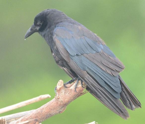 Crow 2018-5