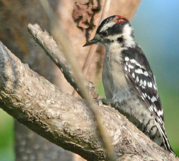 Downy Woodpecker 2018-6