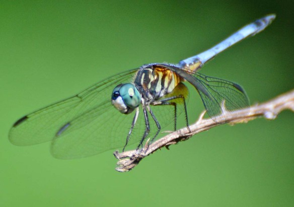 Dragonfly 120