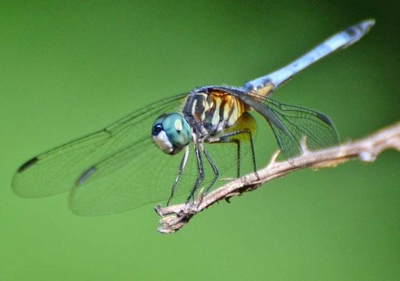 Dragonfly 120