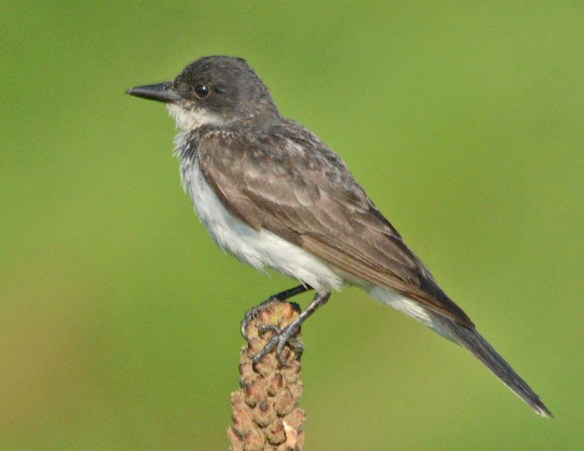 Eastern Kingbird 2018-22