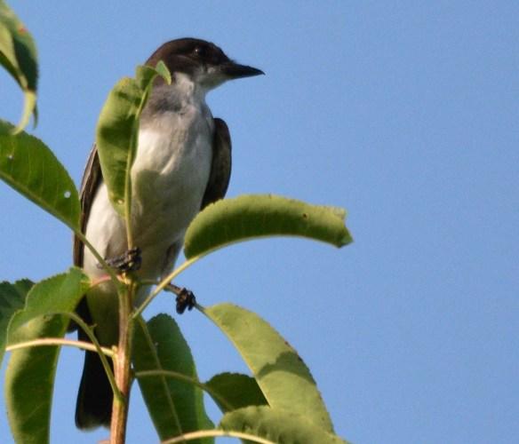 Eastern Kingbird 2018-25