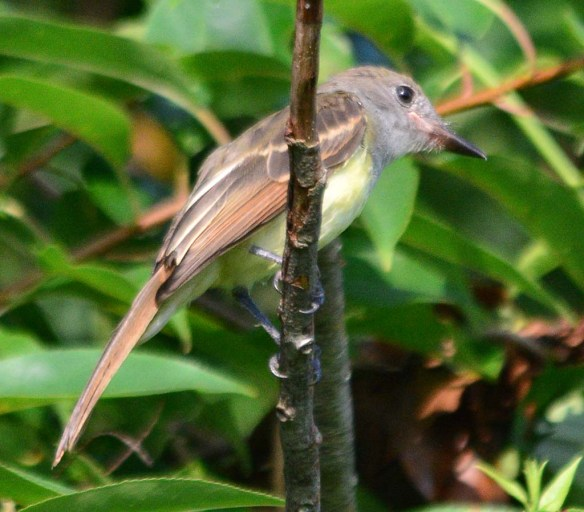 Great Crested Flycatcher 2018-5