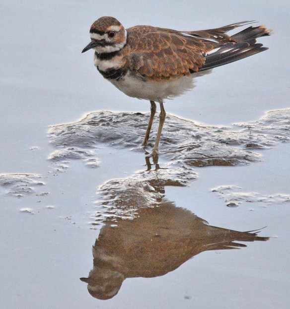 Killdeer 2018-2