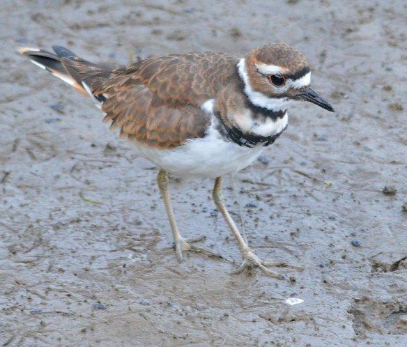 Killdeer 2018-3