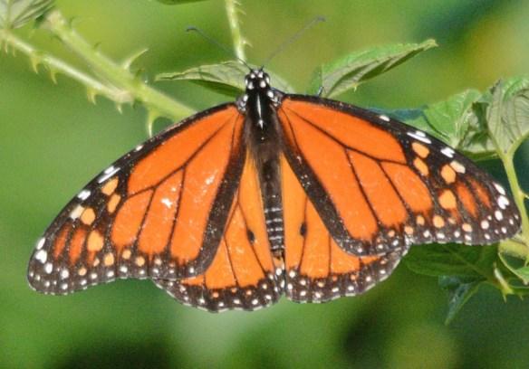Monarch 60