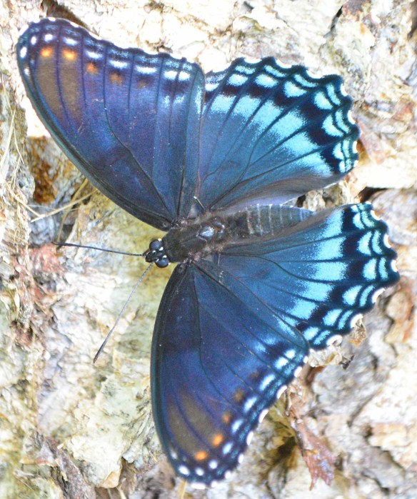 Red Spotted Purple 16