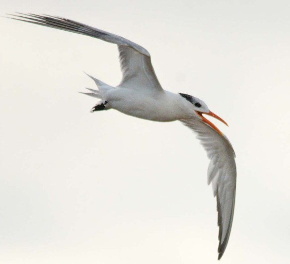 Royal Tern 2018-5