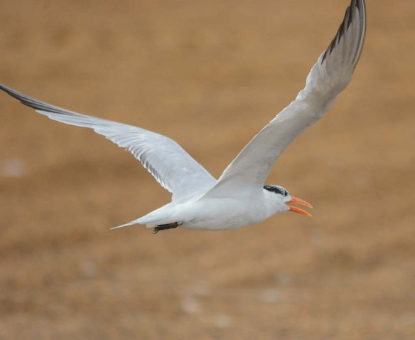 Royal Tern 2018-6