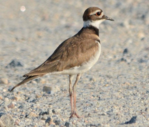 Semipalmated Plover 2018-3