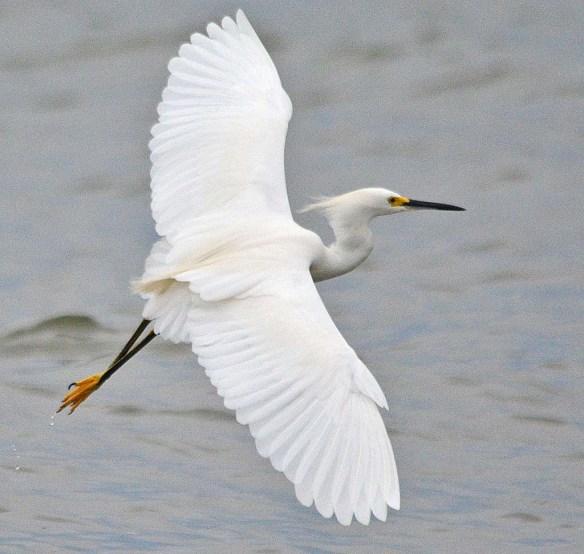 Snowy Egret 2018-24