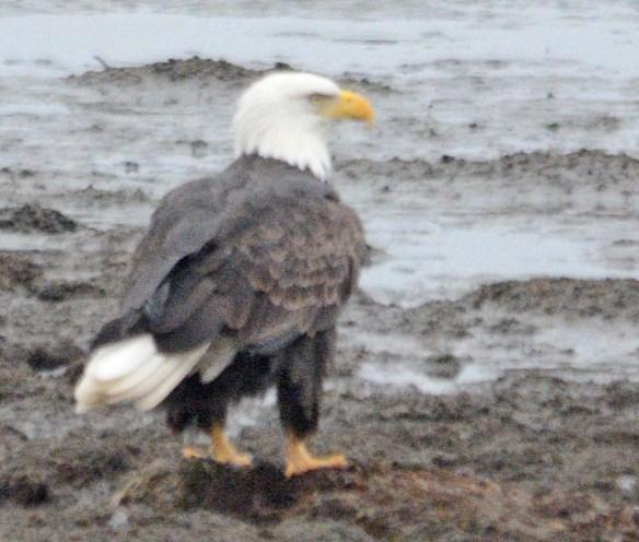 Bald Eagle 2018-65