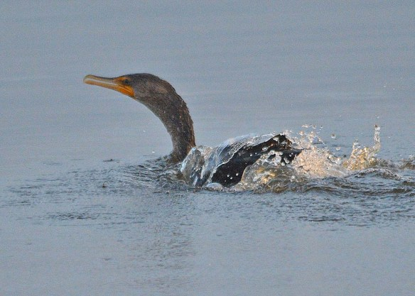 Double Crested Cormorant 2018-11
